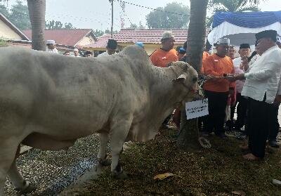 Tampak seekor sapi yang jadi salah satu disumbangkan Polda Riau sebagai hewan kurban di Idul Adha tahun ini.