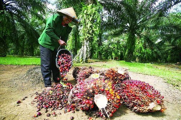 Petani kelapa sawit