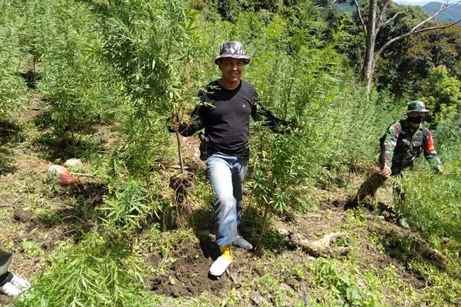 Badan Narkotika Nasional (BNN) Provinsi Sumatera Utara mengungkap ladang ganja seluas kurang lebih 8 hektar di Kabupaten Madina