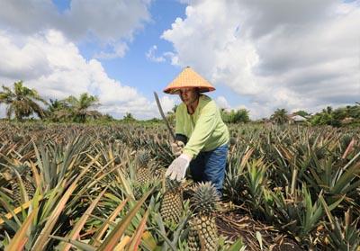 Salah satu petani Desa Penyengat, Kecamatan Sungai Apit, Kabupaten Siak sedang memanen nanas di desa mereka.