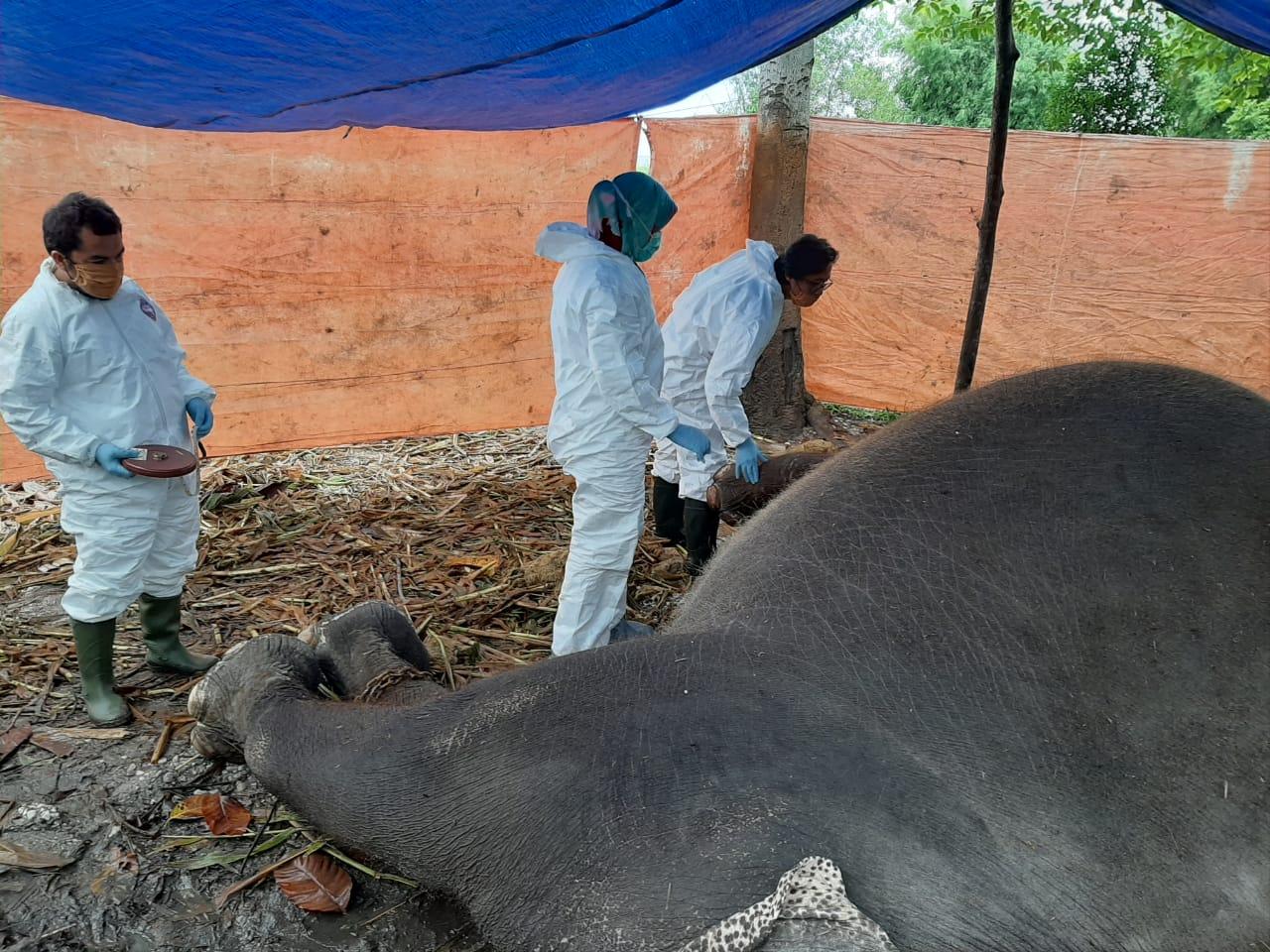 Petugas saat lakukan bedah bangkai gajah.