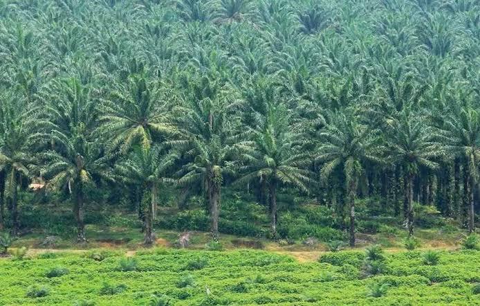 Perkebunan kelapa sawit yang semakin merajalela salah satu sebab deforestasi di Riau.