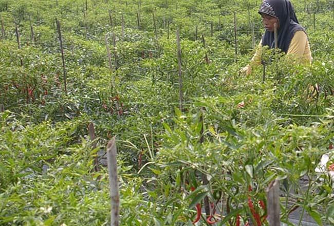 Petani cabai program DMPA di Kabupaten Bengkalis.