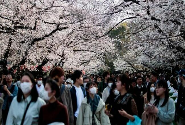 Warga Jepang masih berkerumun di Tokyo untuk menikmati sakurayang mekar saat wabah Covid-19 tengah menghantui. Foto: CNNIndonesia