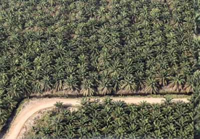 Kebun kelapa sawit.