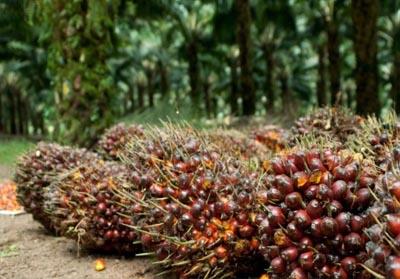 TBS Sawit Riau.