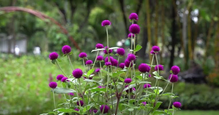 Bunga Kenop.