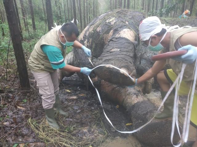 Bangkai Gajah ditemukan di lahan konsesi perusahaan diduga tewas karena diburu.