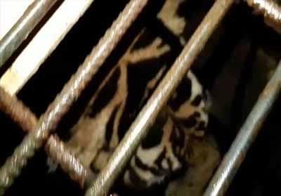 Harimau Sumatera terjebak di ruko.