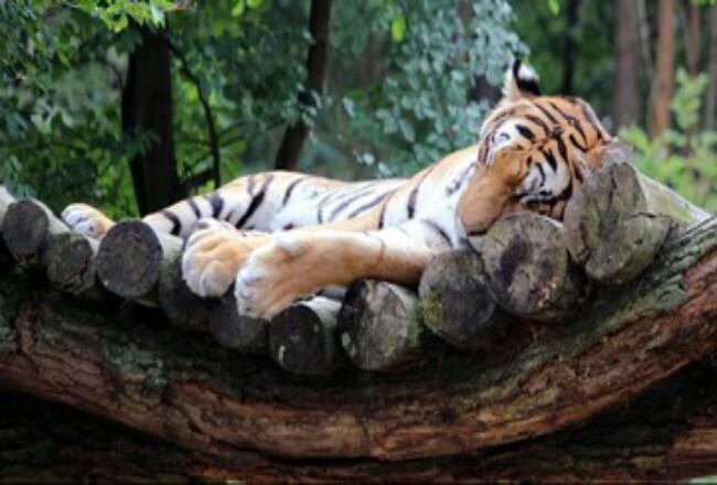 Seekor harimau di kebun binatang Bronx, AS mati usai dinyatakan positif terinfeksi virus corona. Foto: CNN