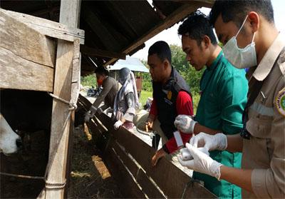 Pemeriksaan hewan kurban di Meranti jelang Idul Adha.