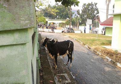 Sapi yang menyeruduk petugas qurban di halaman Masjid Annur Pekanbaru. Foto: Tribunpekanbaru