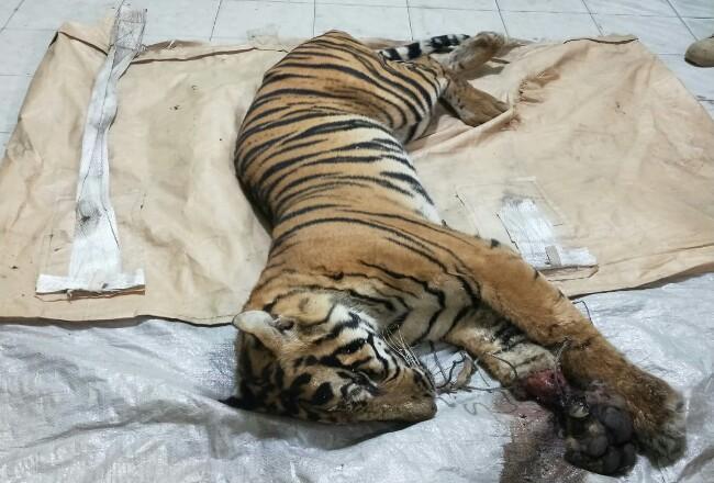 Harimau Sumatera Jantan yang tewas terjerat.