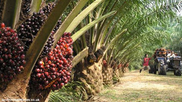 Ilustrasi perkebunan sawit