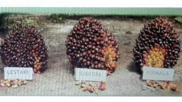Tiga varietas kelapa sawit teranyar dari PT Astra Agro Lestari.