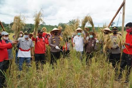 Kapoles Taufiq Lukman Nurhidayat, Kadis TPH, Kades Sungai Kumango dan upika Tambusai ikut panen padi gogo si Kampung Tangguh Sungai Kumango.