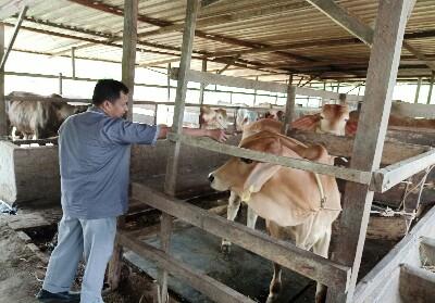 Dinas Ketahanan Pangan dan Pertanian Kota Dumai Mulai Periksa Kesehatan Hewan Kurban.