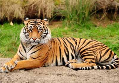 Ilustrasi Harimau Sumatera.
