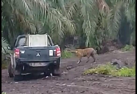 Harimau Bonita di Inhil yang makan waktu berbulan-bulan untuk penangkapannya.