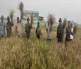 Anggota Koramil 03 Tempuling pada saat panen padi.