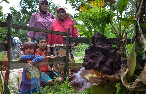 Warga menyaksikan bunga bangkai (Amorphohallus campanulatus) atau Suweg di halaman rumah salah seorang warga Jalan Karya, Kelurahan Tirta Siak, Kecamatan Payung Sekaki, Pekanbaru, Selasa (21/11/2017). Bunga bangkai tersebut diperkirakan memiliki tinggi 70 cm dengan lebar 50 cm. <b>FOTO: Wahyudi<br></b><br>